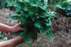Edibles | Fine Gardening