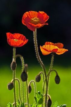 Three Poppies -- by peter murray. I want this photo My Flower, Flower Art, Flower Power, Cactus Flower, Art Floral, Flowers Nature, Wild Flowers, Amazing Flowers, Beautiful Flowers