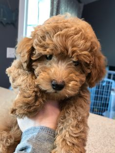 Toy Goldendoodle and Mini Goldendoodle puppies for sale. Red Goldendoodle and Apricot Goldendoodles available. Golden doodle puppies – Mini Doodle Dog Source by Teddy Bear Goldendoodle, Goldendoodle Puppy For Sale, Cavapoo Puppies, Goldendoodles, Labradoodles, Goldendoodle Miniature, Teddy Bear Dogs, Maltipoo, Apricot Goldendoodle