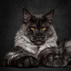 Если бы у котов были цари, то только мейн-куны