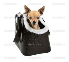 Чихуахуа в сумке для собак — стоковое изображение #53487743
