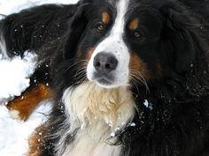 Bernese Mountain Dog Stardust my gorgeous girl