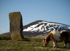 """A Shetland pony grazing by the Craw Stane, Rhynie, Aberdeenshire. This Pictish stone is a block of grey granite, 5'7"""" high with fish and elephant symbols carved into it."""