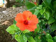 Hibiscus - Wikipedia, the free encyclopedia Hibiscus Rosa Sinensis, Rose, Flowers, Plants, Image, Pink, Roses, Flora, Plant