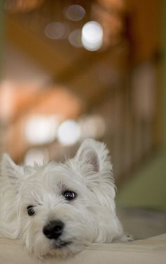 westies:  My parents raised this wonderful dogs when I was little.  I can't help…