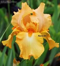 Full size picture of Tall Bearded Iris 'Rave On' (Iris)