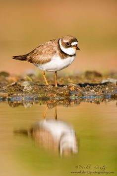 Semipalmated Plover by Mike  Lentz on 500px