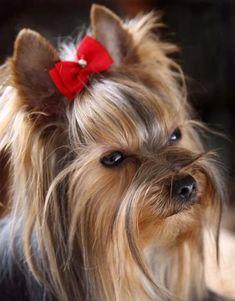 Yorshire Terrier, Terrier Breeds, Yorkies, Cute Puppies, Dogs And Puppies, Yorkie Cuts, Yorkie Hairstyles, Yorkshire Terrier Puppies, Yorkie Puppy