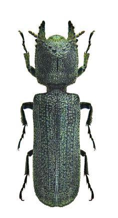 Bostrychoplites cornutus Bostrichidae