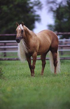 Quarter Horse stallion Pull My Trigger