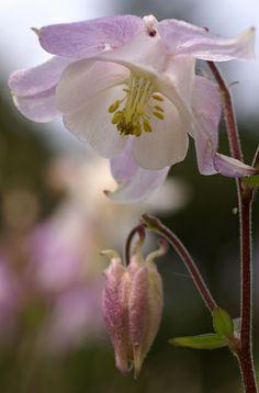 Akelei / Columbine (Aquilegia) | Flickr - Photo Sharing!