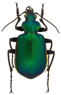 Calosoma Calosoma aurocinctum 4820.jpg (1345×2088)