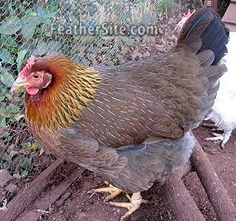 Welsummer shown. Feathersite.com has a list of chicken breeds with photos and info. Updated link