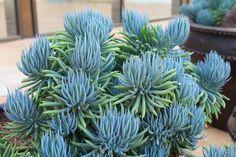 + Plantas: Senecio mandraliscae - A Suculenta Azulada