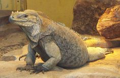"Rhinoceros Iguana - Cyclura cornata - Characterized by a bony-plated pseudo-horn on the snout of adults, this member of the family Iguanidae reaches lengths from 24-54"" (60-136 cm). It occurs primarily on the Caribbean island of Hispanola"