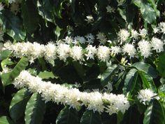 Flores do cafeeiro - Fazenda Movimento