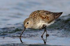 Shorebirds, Sketching, Models, Water, Animals, Beautiful, Templates, Gripe Water, Animales