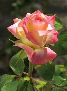 Yo me identifico con estas rosas <3