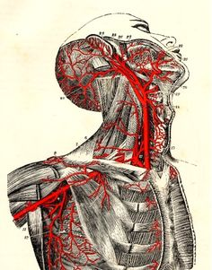 The carotid, subclavian, and axillary arteries    From Quain's Elements of Anatomy by Jones Quain and Sir Edward Albert Sharpey-Schäfer, 1892    #anatomy #medicaldiagram #illustration