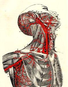 The carotid, subclavian, and axillary arteries    From Quain's Elements of Anatomy by Jones Quain and Sir Edward Albert Sharpey-Schäfer, 1892    #anatomy #medicaldiagram #illustration