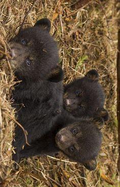Baby Bears, Bear Cubs, Panda Bear, Animals And Pets, Baby Animals, Black Bear Cub, Animal Babies, Beautiful Creatures, Funny Things