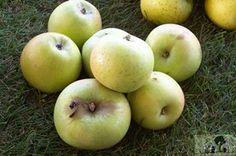 Zuccalmaglio, Tafelapfel, Ernte: X, genussreif ab: XI, lagerfaehig bis: II, robust, hervorragender Geschmack, jaehrlich und sehr fruchtbar