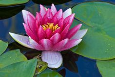 Water Lily: Although the water lily and lotus flower are both aquatic plants and are often mistaken for each other - they are not the same plants! The lotus flower has a center with a circular structure forming the seed pod, which is absent in the water lily. Did you spot the frog?