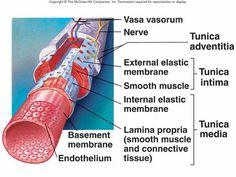 Anatomy Veins and Arteries - helpful link!