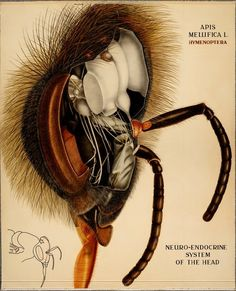 Eclectic historic science and art images from rare books and prints Science Illustration, Nature Illustration, Antique Illustration, Insect Anatomy, Insect Art, Bugs And Insects, Save The Bees, Bees Knees, Animals Of The World