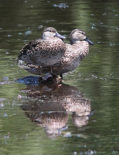 Anas discors / Barraquete aliazul / Blue-winged Teal (female), Colombia