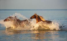 Horses running through the sea - Chesnut horses running through the sea