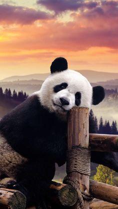 What a beautiful background. Cute Panda Baby, Baby Panda Bears, Panda Love, Baby Pandas, Giant Pandas, Niedlicher Panda, Panda Funny, Cute Panda Wallpaper, Animal Wallpaper