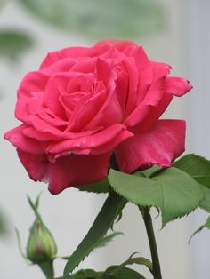 Rose 'Peter Mayle' probably plant beside double pink knock out & traviata - ombre effect
