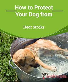 How to Protect Your Dog from Heat Stroke   Summer is here and we should all take care of ourselves with the high temperatures. And our dear furry friends are no different, especially when we consider how sensitive they are to the elevated temperatures. That is why you must be very careful to protect your dog from heat stroke.