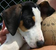 HOWIE is an adoptable Coonhound Dog in Arlington Heights, IL. My adoption fee is $350. I am so sweet and lovable! I am about 16 weeks old and I adore everything! If you would like to adopt me, please ...