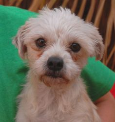 Misa is happiest in your arms giving you doggie kisses.  She is a sweetheart Malti-Poo (Maltese & Poodle mix), 5 years of age, a spayed girl, debuting for adoption today at Nevada SPCA (www.nevadaspca.org).  Misa is good with other dogs and reportedly crate-trained and compatible with cats and birds too.  She enjoys gently carrying her toys around in her mouth so they are always nearby.