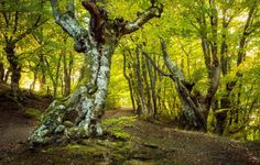 Go live in the woods? Beech I might. Beech Tree, Positive Body Image, Tree Forest, Somerset, Halle, Landscape, Amazing, Plants, Trees
