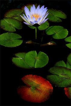 Water lily and leaves - a Variation : DD0A0003-1-1000 by Bahman Farzad, via Flickr