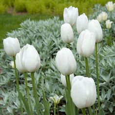 Her large, oval-shaped, creamy white blooms on long stems have classic form. In the landscape or in a bouquet, 'Maureen' is one of the best white Tulips.