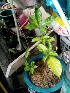 Air layered Gardenia.....