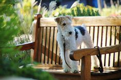 Wire Fox Terrier - At Yountville, Napa; Outside of Bouchon