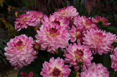 Sincerity Dahlia for your garden! From NGB member Syngenta Flowers Bulb Flowers, Large Flowers, Garden Beds, Garden Plants, Summer Bulbs, Growing Dahlias, Garden Shop, Cottage Gardens, Summer Garden