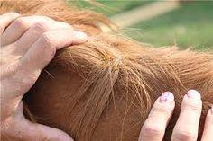 Болезни: Сезон охоты открыт… Пироплазмоз - Уход и лечение | КОНОВОД