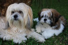 Lhasa: Toby and Koda
