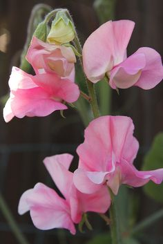 Sweet peas Does anyone have seeds for the sweet pea vine? I love this little flower. Comes in white or lavender also.