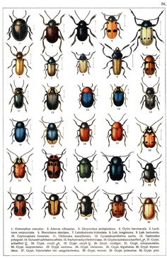 """G.G. Yakobson (1905-1915) - """"Beetles of Russia"""": table 56"""