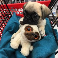 Their eyes are like stuffed animals' eyes! | 19 Baby Pugs So Ridiculously Cute That You'll Die From Love