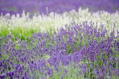 https://flic.kr/p/fkNKkN   Lavender at Prince Edward County Lavender Farm