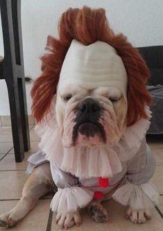 Funny Animal Jokes, Funny Dog Memes, Cute Funny Animals, Funny Animal Pictures, Funny Dogs, Best Dog Costumes, Pet Costumes, Bulldog Halloween Costumes, Bulldog Puppies