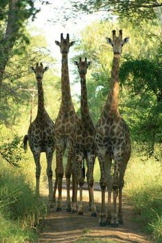 Giraffe family walking down the path Nature Animals, Animals And Pets, Baby Animals, Funny Animals, Cute Animals, Wild Animals, Baby Elephants, Giraffe Art, Cute Giraffe